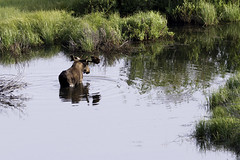 Bull Moose in the river....1 of 2 in set (Alan Vernon.) Tags: sunset wild mountains male nature river rockies mammal colorado wildlife rocky moose bull willows alces