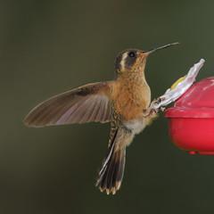 Colibr VIII (Jos M. Arboleda) Tags: bird canon eos colombia hummingbird jose ave 5d colibr arboleda markiii trochilidae coconuco apodiforme josmarboledac ef400mmf56lusm14x troquilinos