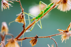 Green Spider (anzere03) Tags: