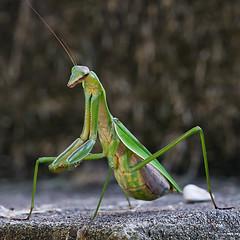 Praying Mantis (The Life of Tom) Tags: mantis insect praying