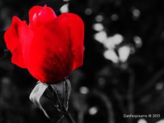 Rosa (Danferpizarro) Tags: chile bw white black flores color blanco luz canon de point la coquimbo calle rojo shot y monumento negro rosa bicicleta bn iso perro cruz gato vida caminar balance animales juego region iv siempre por recuerdos blancos exposicin ahp compacta sx160 danferpizarro