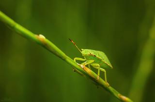 Stink bug (Heteroptera)