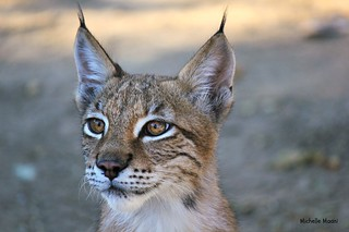 Juvenile Siberian Lynx