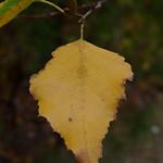 Gray Birch leaves thumbnail