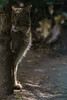 Sneaky (Bart Huizinga) Tags: wildcat wildpark gangelt wildekat