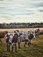 Kühe in Bayern / cows in Bavaria