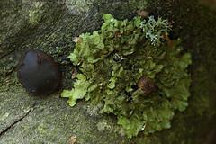 Black Fungus And Lichen (cazphoto.co.uk) Tags: lichen billericay bulgariainquinans norseywoods canoneos5dmkiii canon100mmeff28lisusm blackbulgarfungi