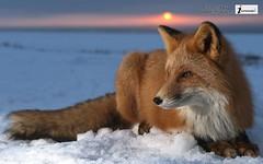 Animal Fox