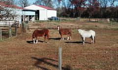 Are You Looking At Me  11-13-13 (MelenaMe) Tags: ranch horses horse nature animals farmhouse barn fence farm lawn farmland ponies homestead stallions stable rancho stables mounts outbuildings steeds aninal