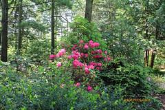 Rhododendron 59 (riccpics) Tags: trees fleurs garden botanical bush jardin arbres bloom botanique arbustre