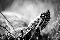 Finding Your Way - Explored 11/27/2013 (Steven Santamour Photography) Tags: blackandwhite nature grass animals wisconsin glendale turtle reptile painted ngc explore coldblooded chrysemyspicta