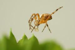 DSC05127 (BrunoMuk2012) Tags: spider sonyalpha700 minolta35105old