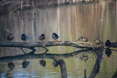 All my ducks in a row (TFJ Photography) Tags: park nature creek nikon state wind wildlife alabama d600