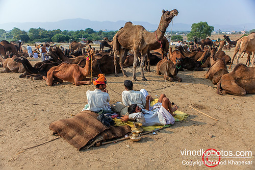Pushkar- life with Camel