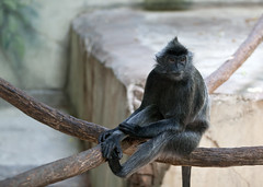 "Langur • <a style=""font-size:0.8em;"" href=""http://www.flickr.com/photos/30765416@N06/11392888006/"" target=""_blank"">View on Flickr</a>"