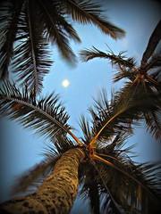 ~11-21-11/Oahu Trip #5~ (TravelsThruTheUniverse) Tags: hawaii waikiki oahu honolulu tropicalplants coconutpalms tropicalgardens tropicalfoliage tropicallandscapes alamoanabay