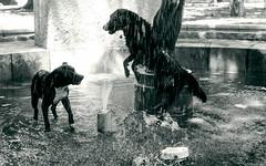 los bañadores (*paz) Tags: summer dog animals blackwhite agua bn perro verano pileta parqueforestal santiagochile