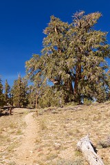 Ancient Bristlecone Pine Forest, Cabin Trail, Bristlecone Pine (darthjenni) Tags: trip travel landscape desert great whitemountains basin mojave bishop owensvalley inyonationalforest basinandrangeprovince