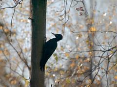 Dryocopus martius (Palokärki, black woodpecker) female (aphalo) Tags: birds blackwoodpecker dryocopusmartius helsinki herttoniemi nature palokärki places finland geo:lon=2502848625 exif:make=olympusimagingcorp camera:model=e510 exif:isospeed=100 exif:model=e510 exif:lens=7003000mmf4056 exif:aperture=ƒ56 exif:focallength=300mm geo:city=helsinki camera:make=olympusimagingcorp geo:location=herttoniemi geo:lat=60204089683333 geo:country=finland