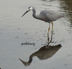 A Heron in Little Lake Warilla (pat.bluey) Tags: heron birds reflections australia newsouthwales 1001nights littlelake warilla flickraward 1001nightsmagiccity hganimalsonly hennysanimals sunrays5 handgsb