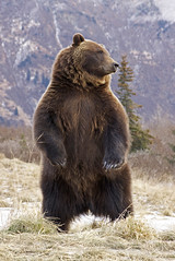Interior Grizzly Alert & Standing (AlaskaFreezeFrame) Tags: grizzly brownbear grizzlybear bears bruin claws alaska canon alaskafreezeframe fall fallcolors outdoors wildlife animals nature dangerous ursusarctoshorriblis silvertip mammal carnivore willows closeup portrait omnivore standing magnificent beautiful majestic mountains snow trees spruce grass