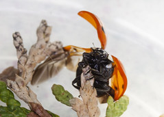 Ladybird (Innes2011) Tags: macro insect sigma ladybird 60mm