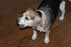 Flapjack back home - May 23, 2014 (cseeman) Tags: beagle dogs cone vet michigan stitches resting saline recuperating dogattack dogbite flapjack injureddog injuredpet flappyattack flappy05232014