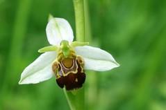 Autour du village (Seix/Arige) (PierreG_09) Tags: fleur plante flor flore pyrnes orchide pirineos ophrys ophrysapifera arige seix ophrysabeille couserans orchidace