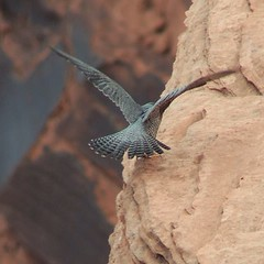 Glen Canyon Aviator! Photo taken by Gerry Nealon #birdsofthecolorado #bitsofprey #coloradoriverdiscovery