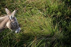 Pitimbu/PB (Rato Diniz) Tags: praia animal brasil pb burro jumento paraiba pitimbu litoralsul burrinho nordestedobrasil nordestebrasileiro alimentaao jumentinho rataodiniz litoraldaparaiba praiadepitimbu animaldonordeste