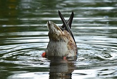 Mallard (careth@2012) Tags: duck feathers ripples nature
