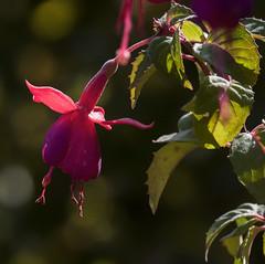 La lgeret toute naturelle (mrieffly) Tags: fleur bokeh canoneos50d 100400issriel