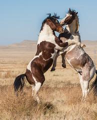 Wild horses (cuddleupcrafts) Tags: wild horse photograpy west desert utah wildlife onaqui herd stallions