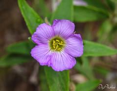 DSC_7674 (DigiPhotus) Tags: digiphotus flor flower fleur fiore flores flowers flos floroj fiori fleurs flori flors blume bloem blumen blomer blommor bláthanna blomster blóm bloemen blum