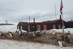 Port Lockroy (naturalturn) Tags: gentoo penguin snowysheathbill flag base building rookery snow portlockroy port lockroy postoffice wienckeisland palmerarchipelago antarctica image:rating=5 image:id=190598
