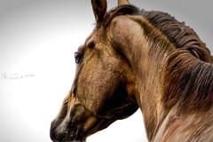 Horse (nicoheinrich86) Tags: horse animal tier sugetier reiten brown braun vignette white weis closeup haare pferd