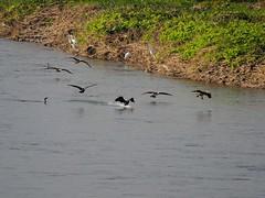 Great cormorants and great egrets () (Greg Peterson in Japan) Tags: egretsandherons shiga birds cormorants wildlife deba japan yasugawa ritto rivers shigaprefecture jpn