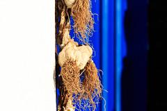 Knoblauchzopf (Andie Wandsch) Tags: garlic knoblauch transylvania transsilvanien dracula vampire zombie gemse gewrz greece griechenland insel santorini island