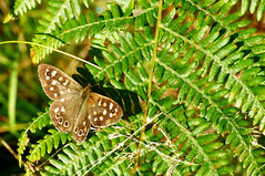 Warmed by the morning sun (Richie Rue) Tags: nikond300 butterfly bracken brown green natural nature insect colour color summer sun morning