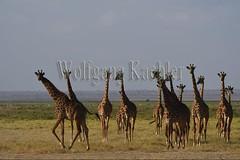 10076040 (wolfgangkaehler) Tags: 2016africa african eastafrica eastafrican kenya kenyan amboseli amboselikenya amboselinatlparkkenya amboselinationalpark wildlife mammal giraffe giraffes giraffacamelopardalistippelskirchi herd tower group