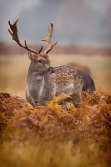 Fallow Deer Buck (paulinuk99999 (really busy at present)) Tags: paulinuk99999 bushy park fallow deer male stag buck antlers autumn october 2016 rut rutting season sal135f18za