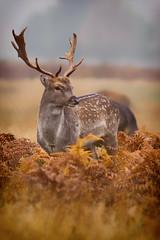 Fallow Deer Buck (paulinuk99999 - tripods are for wimps :)) Tags: paulinuk99999 bushy park fallow deer male stag buck antlers autumn october 2016 rut rutting season sal135f18za