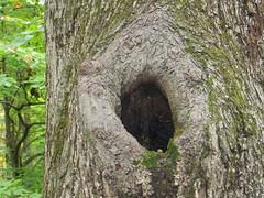 Knothole (Joel Abroad) Tags: trees priceparkwalkingtrail greensboro northcarolina knothole
