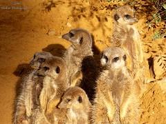 Meerkats (Shakar Photography) Tags: meerkat meerkats ermnnchen erdmnnchen animal park zoo tierpark augsburg germany deutschland bayern bavaria