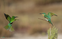 Face to Face : Bee Eaters (THASLEEM MK) Tags: qatar doha bee eater love fight birds feeding green fly shot nature outdoor hummingbird bird depth field animal