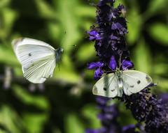 Butterfly_SAF3373-2 (sara97) Tags: missouri nature outdoors photobysaraannefinke saintlouis urbanpark butterfly insect flyinginsect copyright2016saraannefinke inflight