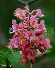 Pink Horse Chestnut blossoms (kuper5) Tags: pink horse chestnut blossoms