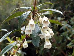Aristotelia peduncularis (dracophylla) Tags: argentdamroad tasmania elaeocarpaceae aristoteliapeduncularis