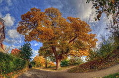 Old Tree (KonHenrik) Tags: d7100 danmark denmark copenhagen kbenhavn hdr 2016 samyang8mm christianshavn christianshavnsvold autumn