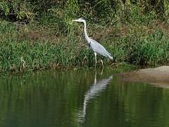 Grey heron () (Greg Peterson in Japan) Tags: rivers wildlife shiga ritto egretsandherons deba japan yasugawa birds shigaprefecture jpn